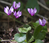 Alpenveilchen (Cyclamen purpurascens)